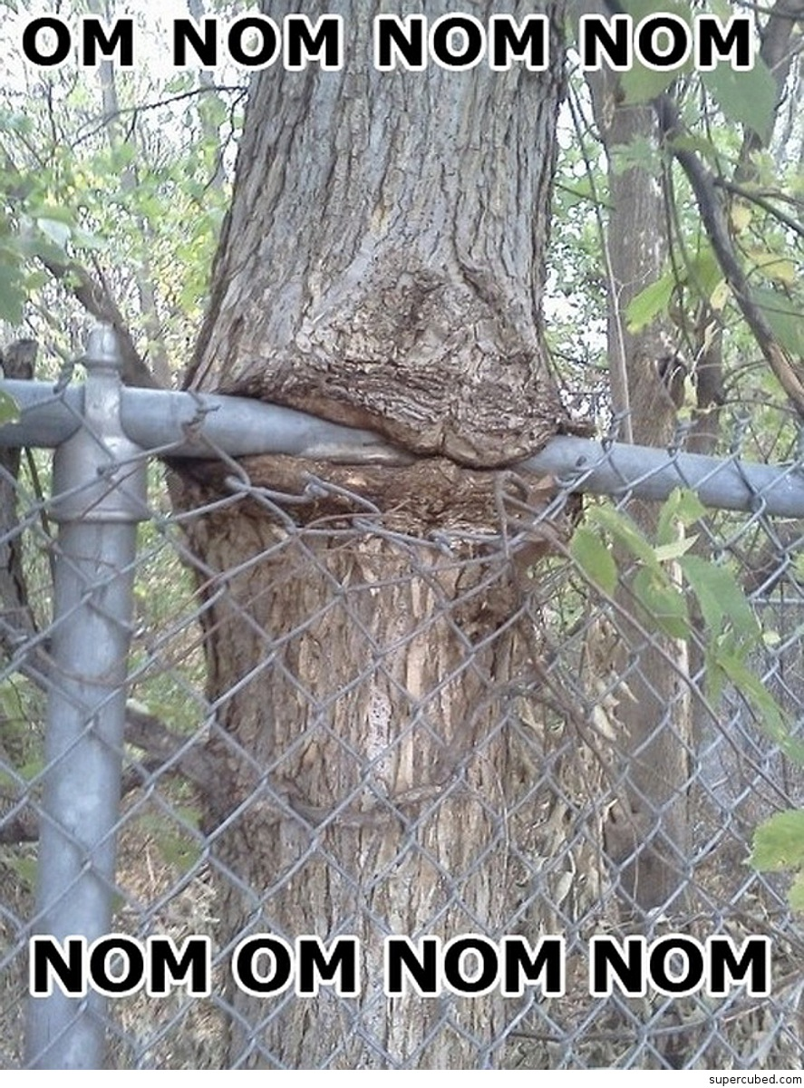Tree eating fence!