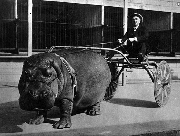 8.) This circus hippo pulling a cart.